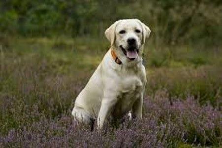Cuánto debe pesar el perro Labrador