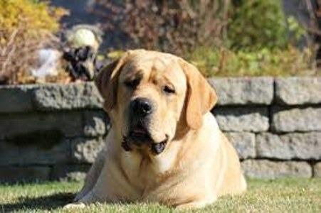 La importancia de mantener estable el peso de tu Labrador
