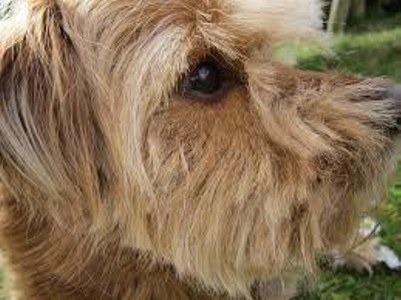 Las causas del glaucoma en perros