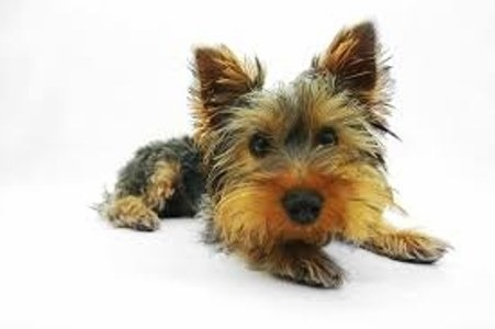 Peculiaridades del Yorkshire terrier