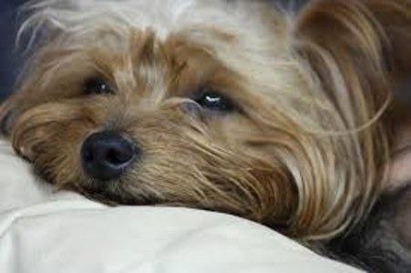 Salud del Yorkshire terrier