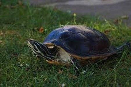 Qué son las tortugas de agua