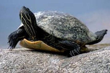 Cuidados extra de las tortugas de agua