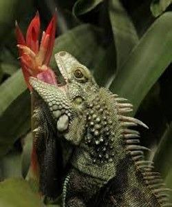 Qué come la iguana