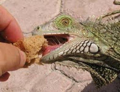 ¿Se puede adiestrar una iguana?