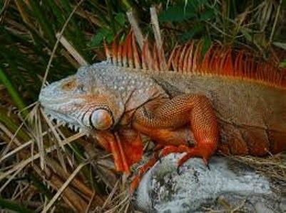 La salud de tu iguana