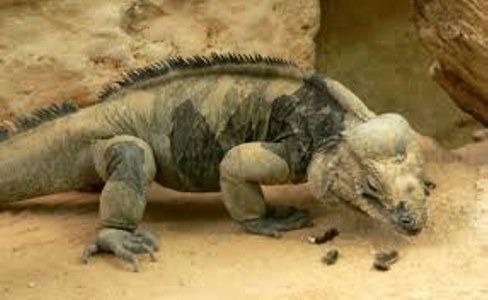 Hábitat de la iguana en el terrario